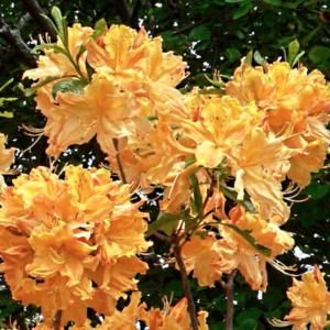 Azalea Golden Lights