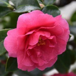Camellia Shishigashira