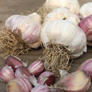 Garlic Russian red