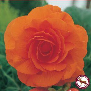 Begonia Camelia Orange