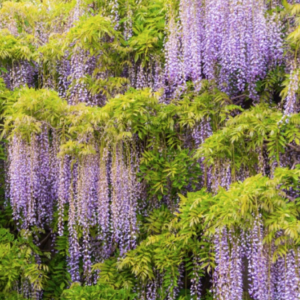 Wisteria Blue Moon