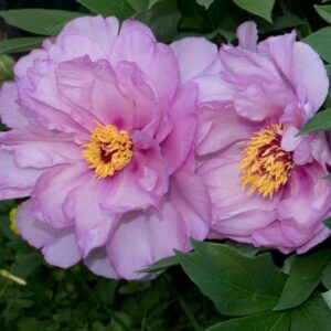 peony-itoh-first-arrival