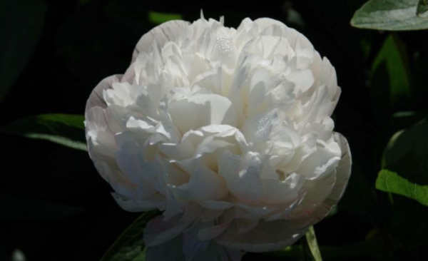 Paeonia officinalis alba plena