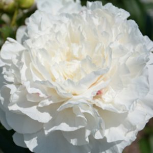 Peony Mother's Choice