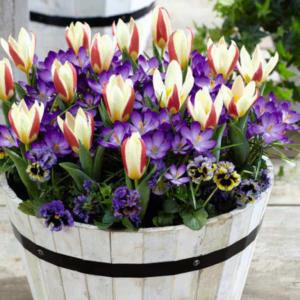 Bulb mix Fairy Garden (tulip, crocus)