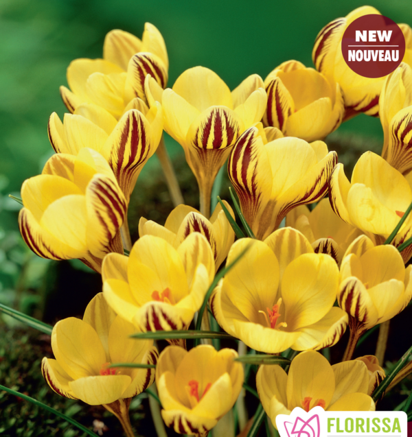 Crocus Early Gold