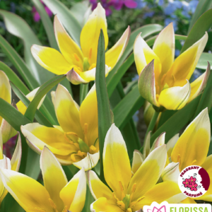 Tulip Dasystemon Tarda