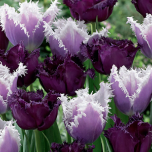 Tulip mix Feathered Fascination